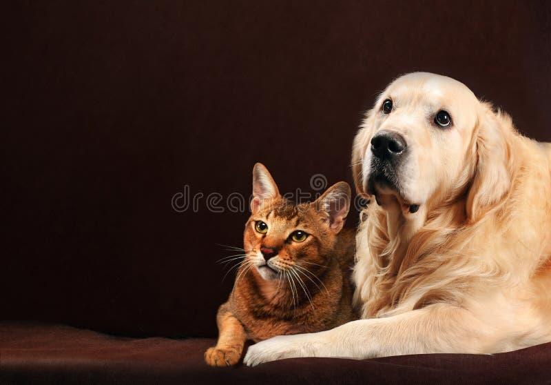 O gato e o cão, gatinho abyssinian, golden retriever olham a esquerda imagens de stock