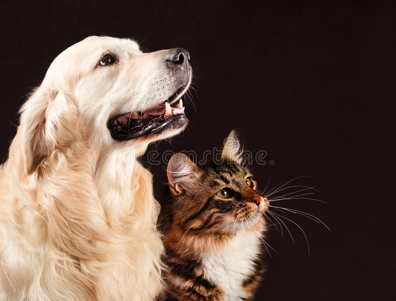 O gato e o cão, gatinho siberian, golden retriever olham o direito imagem de stock