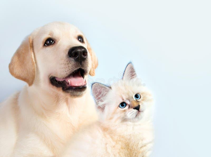O gato e o cão junto, gatinho do disfarce do neva, golden retriever olham o direito fotografia de stock