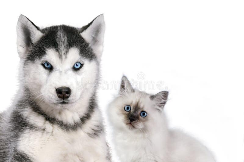 O gato e o cão junto no branco, disfarce do neva, o cão de puxar trenós siberian olham em linha reta imagem de stock royalty free