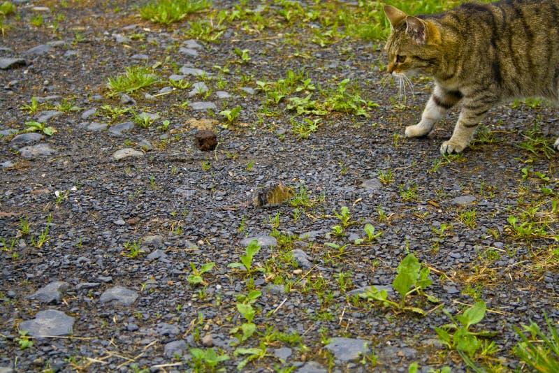 O gato e o rato estão olhando-se foto de stock