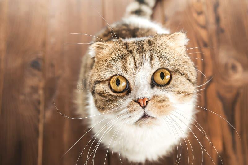 O gato em olhares da surpresa com olhos fecha-se acima Gato britânico de Shorthair fotos de stock royalty free