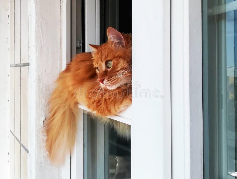 O gato engraçado do gengibre está encontrando-se convenientemente na janela, close-up imagem de stock royalty free