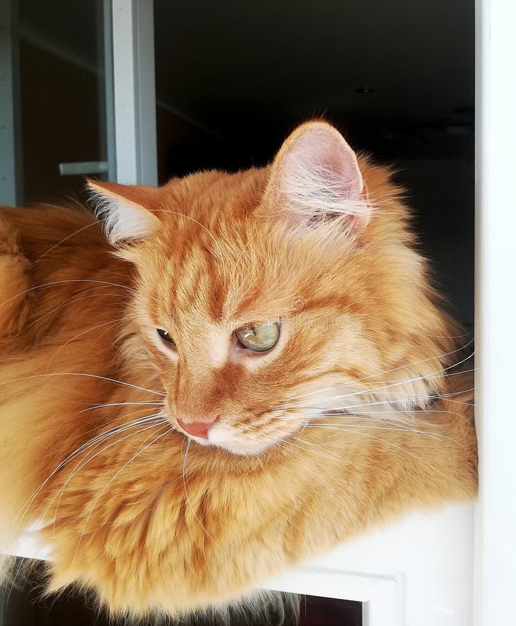 O gato engraçado do gengibre está encontrando-se convenientemente na janela, close-up foto de stock royalty free