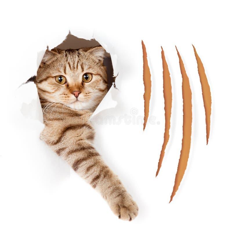 O gato engraçado no furo rasgado do papel de parede com garra corta imagens de stock royalty free