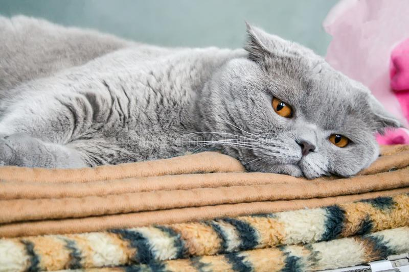 O gato escocês cinzento da dobra com olhos alaranjados encontra-se em uma manta marrom imagem de stock royalty free