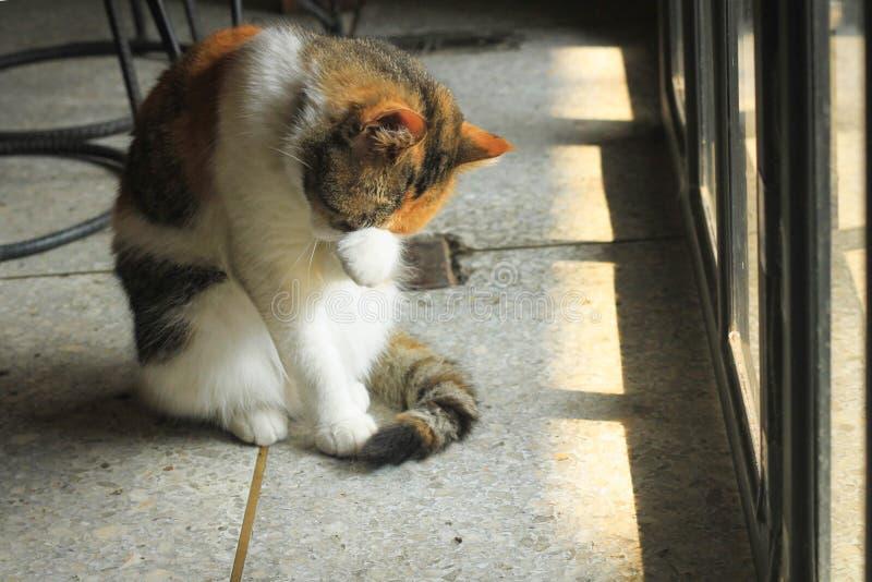 O gato gordo está lambendo e está lambendo, limpando próprio imagem de stock royalty free
