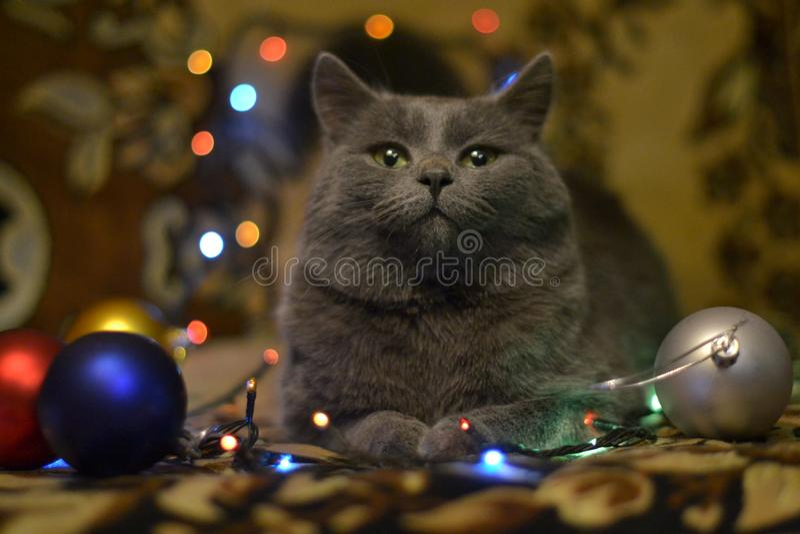 O gato grande escuro est? preparando-se pelo ano novo imagem de stock royalty free
