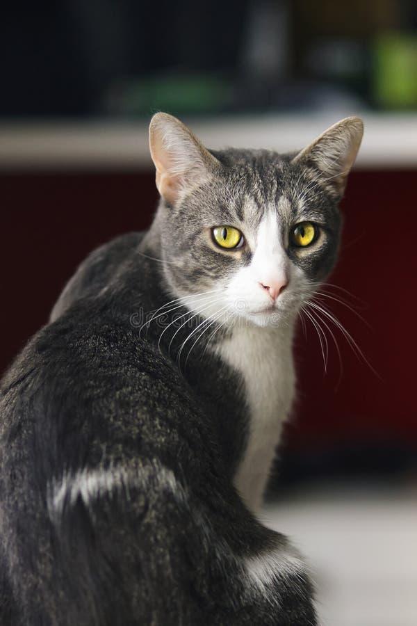O gato listrado cinzento bonito da casa senta-se metade-girado foto de stock royalty free