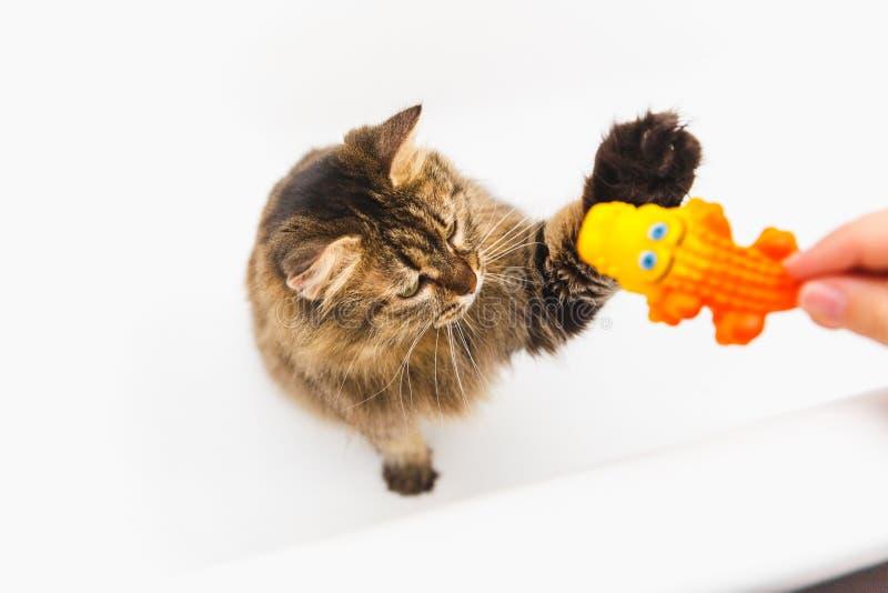 O gato macio joga com um crocodilo amarelo A mão da menina que guarda um brinquedo Banheiro branco como o fundo foto de stock