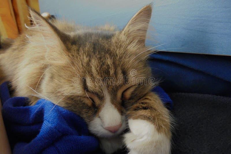 O gato macio marrom bonito dorme em uma caixa de gavetas fotografia de stock