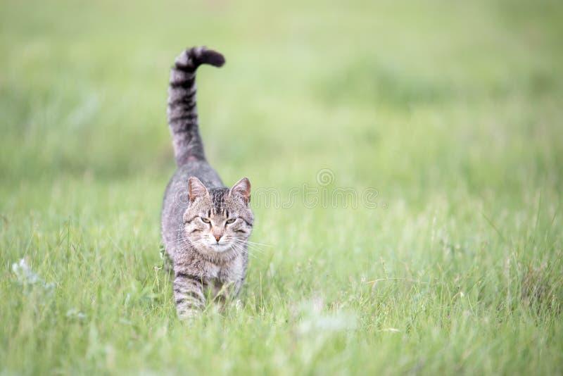 O gato marrom bonito com listras anda no campo com grama verde em um dia de verão imagens de stock royalty free