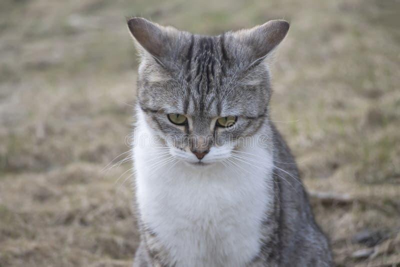 O gato novo bonito, cinzento senta e olha um olhar pensativo foto de stock royalty free