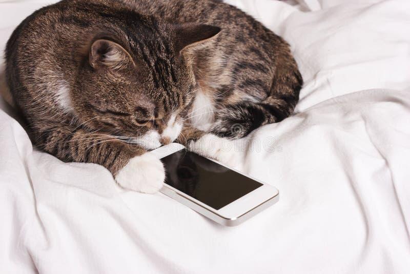 O gato olha no telefone fotos de stock royalty free