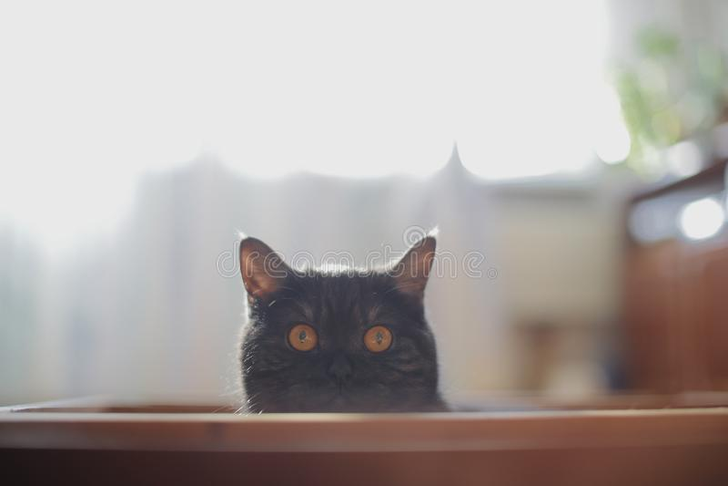 O gato olha para fora escondendo, surpresa, caçando a luz solar fotografia de stock