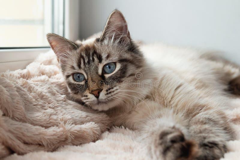 O gato peludo adorável da cor do ponto do lince do selo com olhos azuis está descansando em uma cobertura cor-de-rosa fotografia de stock