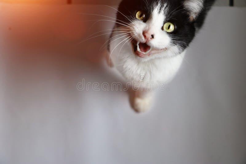 O gato pequeno mia na câmera com boca aberta imagens de stock