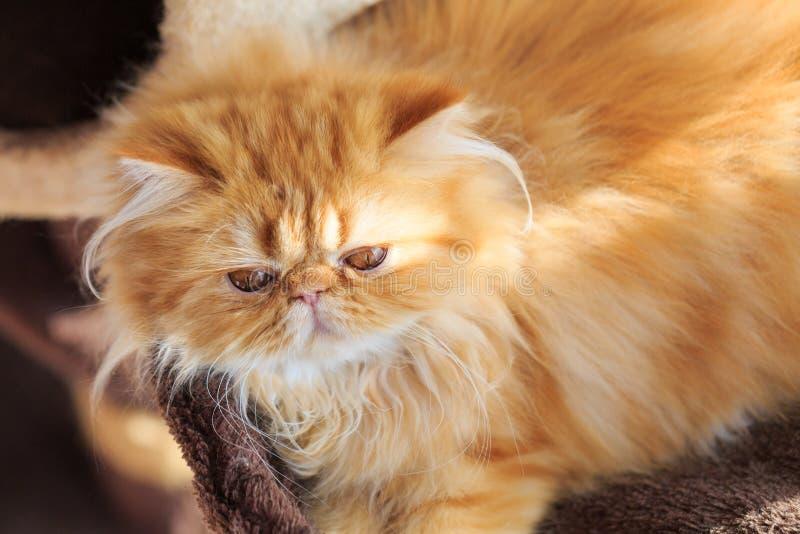 O gato persa amarelo sonolento foto de stock imagem de for Cuanto cuesta una alfombra persa