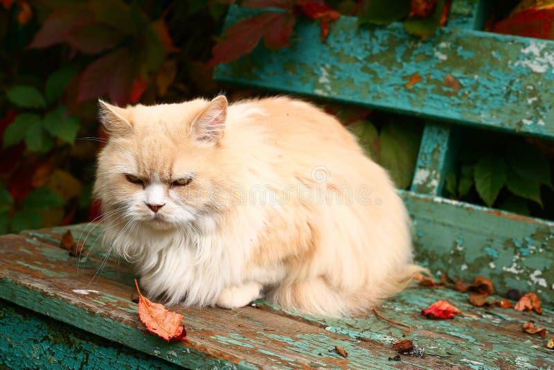 O gato persa bege senta-se no banco fotos de stock