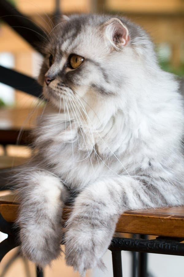 O gato, persa da vaquinha senta e vê o isolado no fundo, vista dianteira da parte superior imagem de stock royalty free