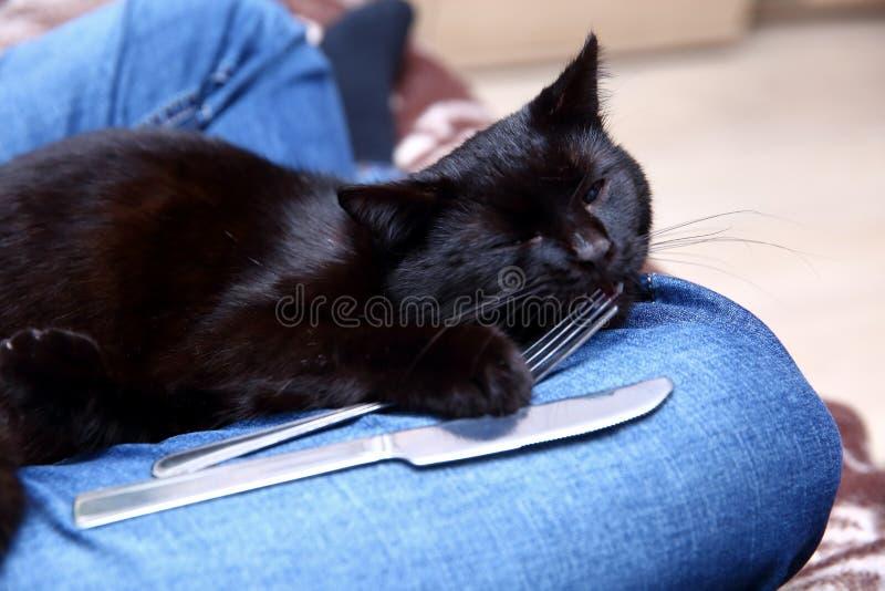O gato preto ama comer com uma faca e bifurcar-se porque sente que se transformou um membro desta família para o bom imagem de stock royalty free