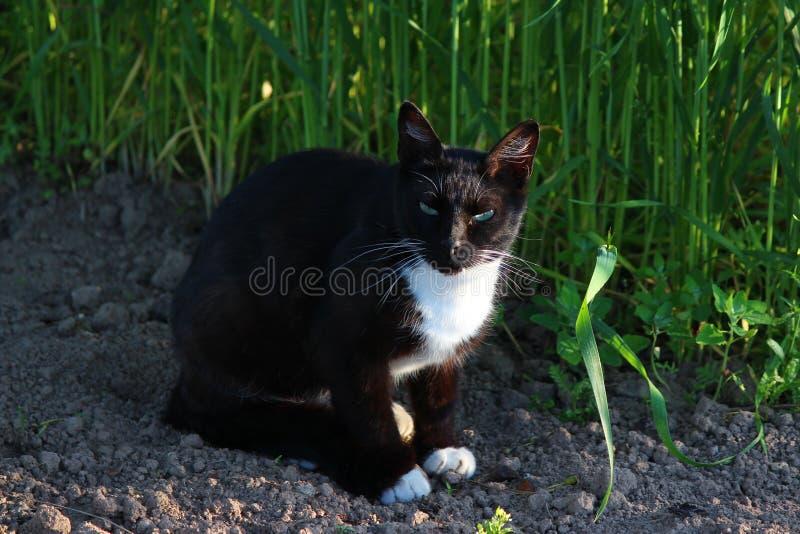 O gato preto bonito com um pescoço branco olha com cuidado imagem de stock