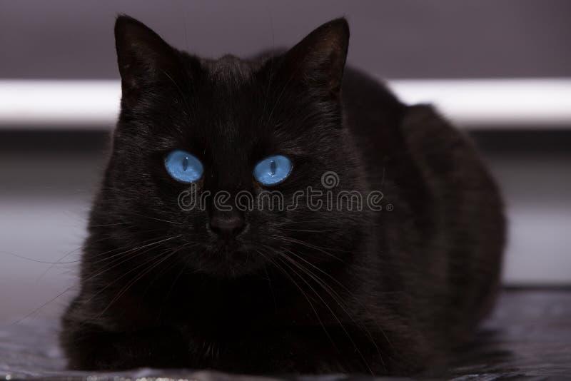 O gato preto com olhos azuis está olhando-o foto de stock