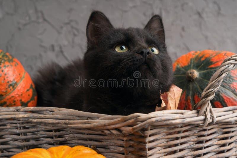 O gato preto de olhos verdes e as abóboras alaranjadas na cesta de vime no fundo cinzento do cimento com amarelo do outono secam  imagem de stock royalty free