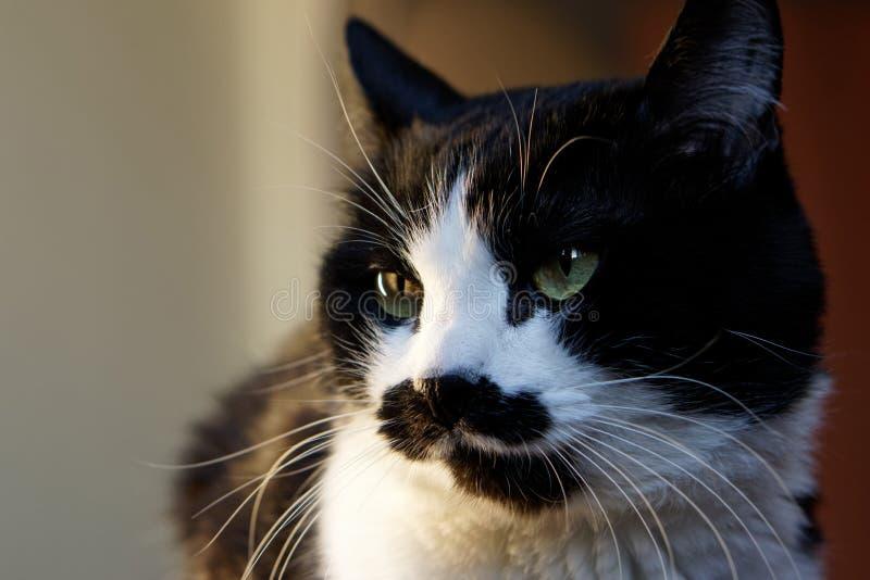 O gato preto e branco engraçado com um focinho incomum examina o ambiente imagem de stock
