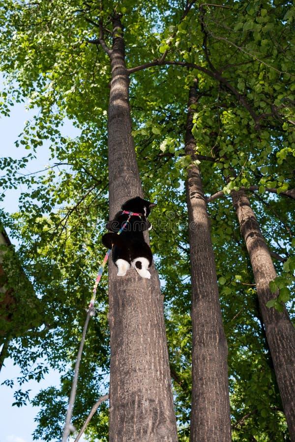 O gato preto e branco no chicote de fios escalou altamente na árvore na soma fotografia de stock