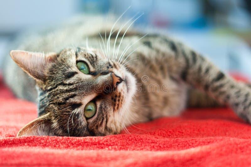 O gato relaxa no vermelho fotos de stock