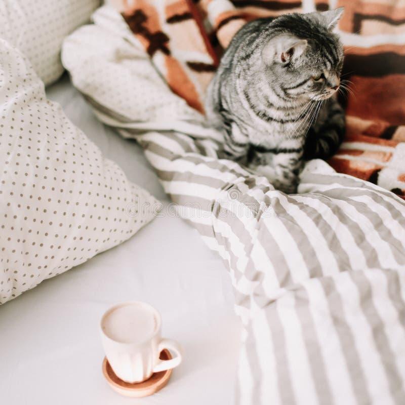 O gato reto escocês engraçado está sentando-se na cobertura na cama Flatlay acolhedor do blogger f?mea r imagens de stock royalty free