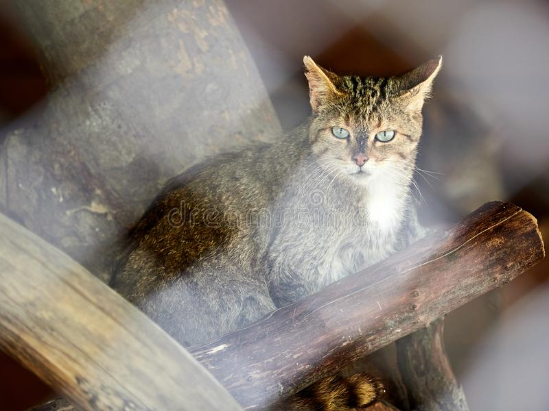 O gato selvagem da floresta senta-se entre os logs secos Desorganizados europeu, silvestris do Felis fotos de stock