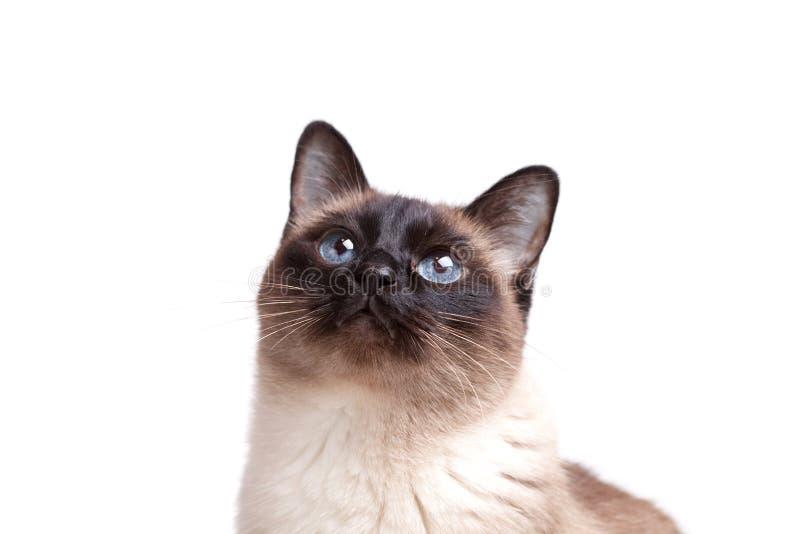 O gato Siamese com olhos azuis olha para cima fotos de stock