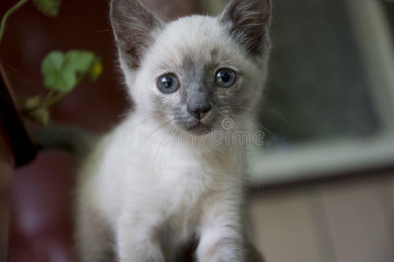 O gato Siamese de Shorthair está andando no asfalto Gatinho doméstico pequeno eyed azul Animal de estimação da vila Pele cremosa  fotos de stock royalty free