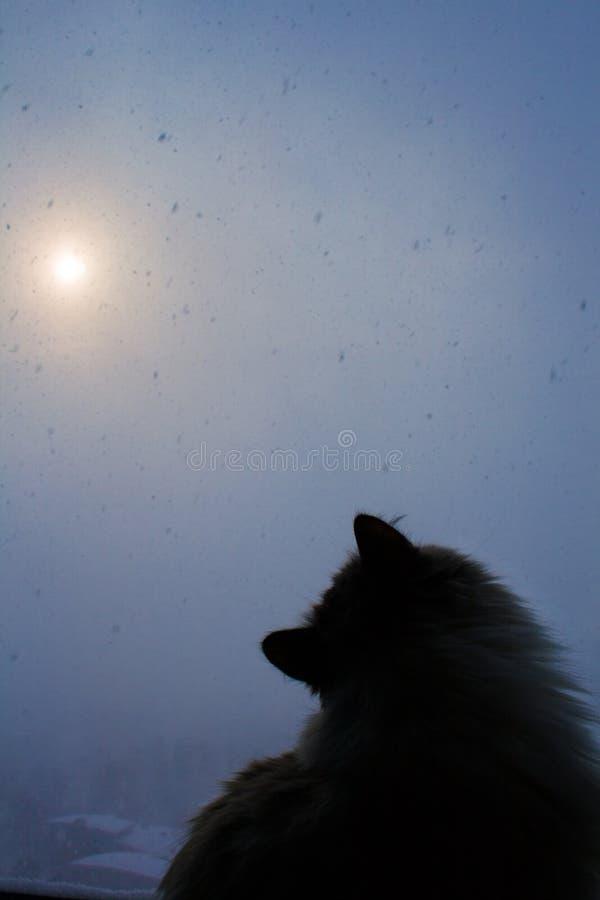 O gato Siberian senta-se pela janela e olha-se flocos de neve fora fotografia de stock royalty free