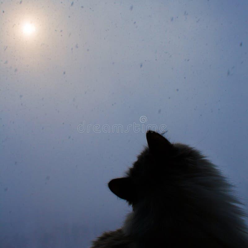 O gato Siberian senta-se pela janela e olha-se flocos de neve fora fotografia de stock
