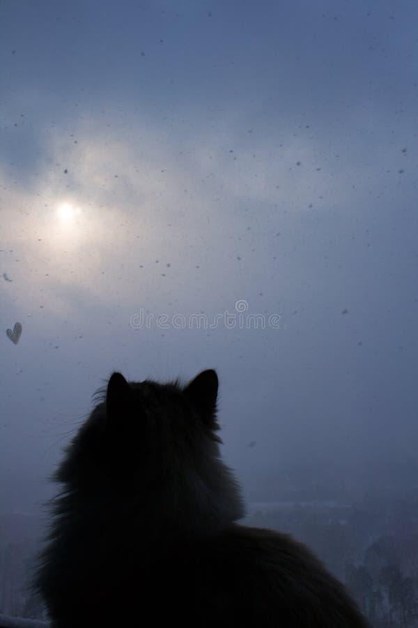O gato Siberian senta-se pela janela e olha-se flocos de neve fora foto de stock