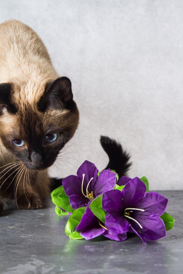 O gato tailandês Siamese joga e dá flores Escuro - fundo cinzento fotografia de stock royalty free
