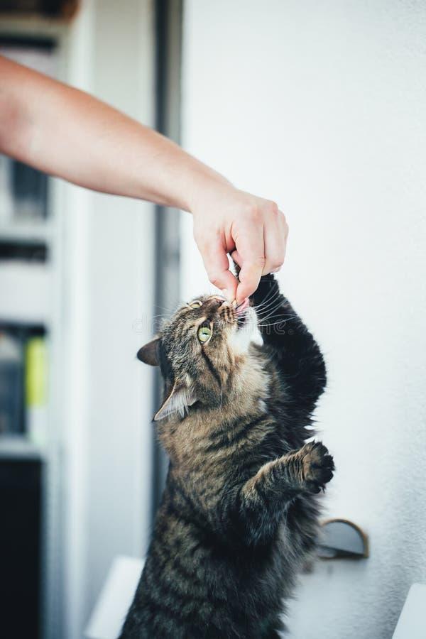O gato toma um comprimido imagem de stock royalty free