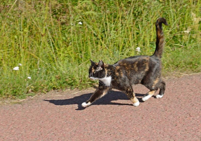 o gato Três-colorido corre em casos na estrada secundária no verão imagens de stock