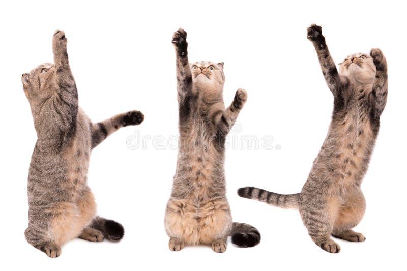 O gato trava as patas em um fundo branco Jogando o gato fotografia de stock royalty free