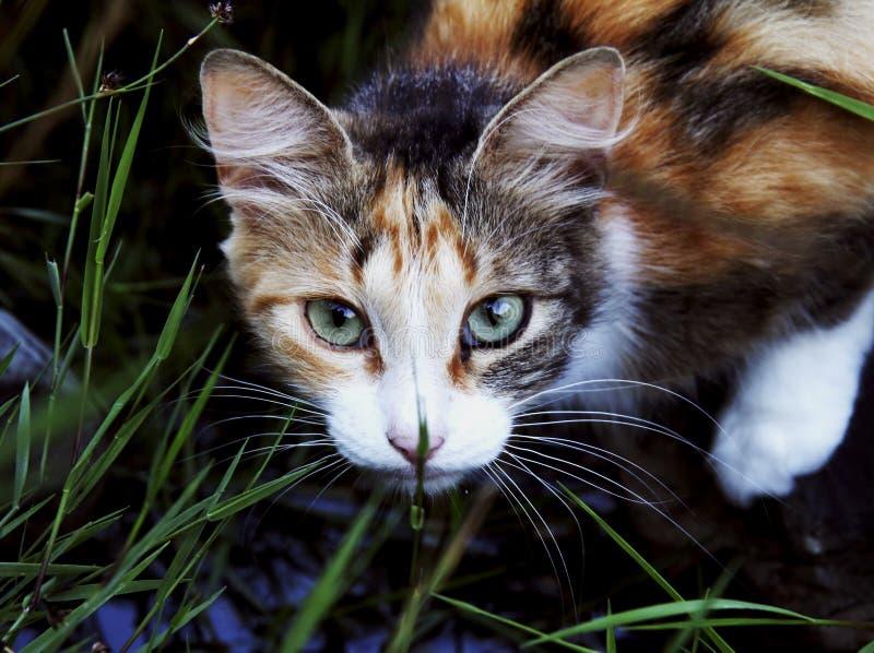 O gato Tricolor olha na câmera foto de stock royalty free