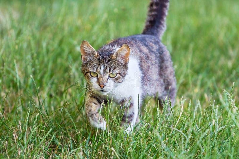 O gato vai na grama verde para o hunting_ imagem de stock