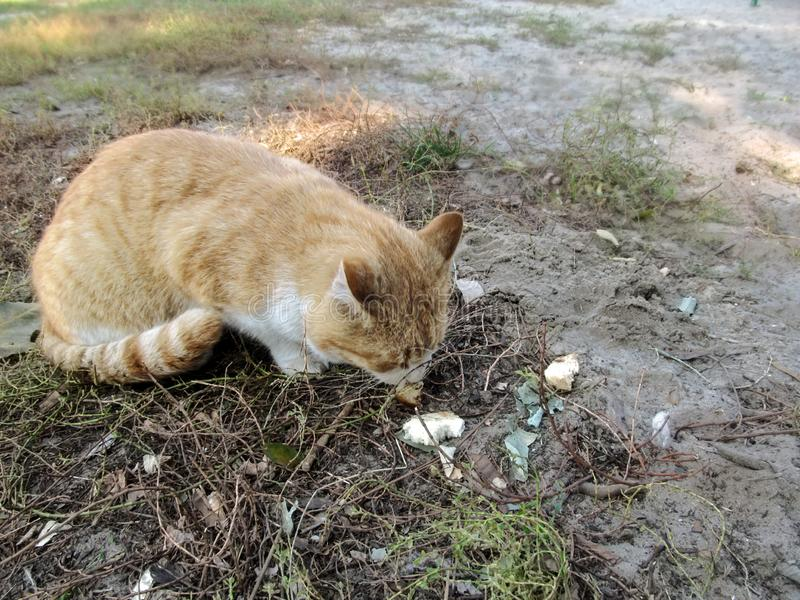 O gato vermelho desabrigado come o p?o do ar livre ? terra fotos de stock royalty free
