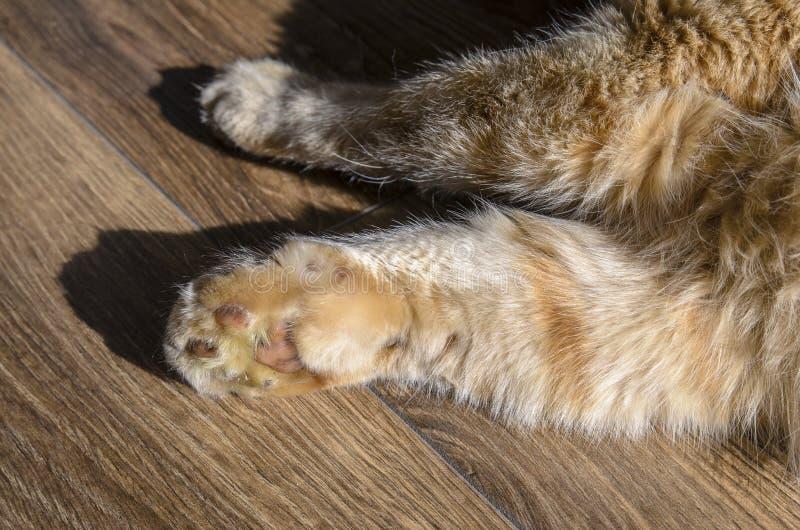 O gato vermelho grande adulto, o gato é a pata dianteira muito dorido, pata inchada devido à mordida da serpente o conceito do tr imagem de stock royalty free