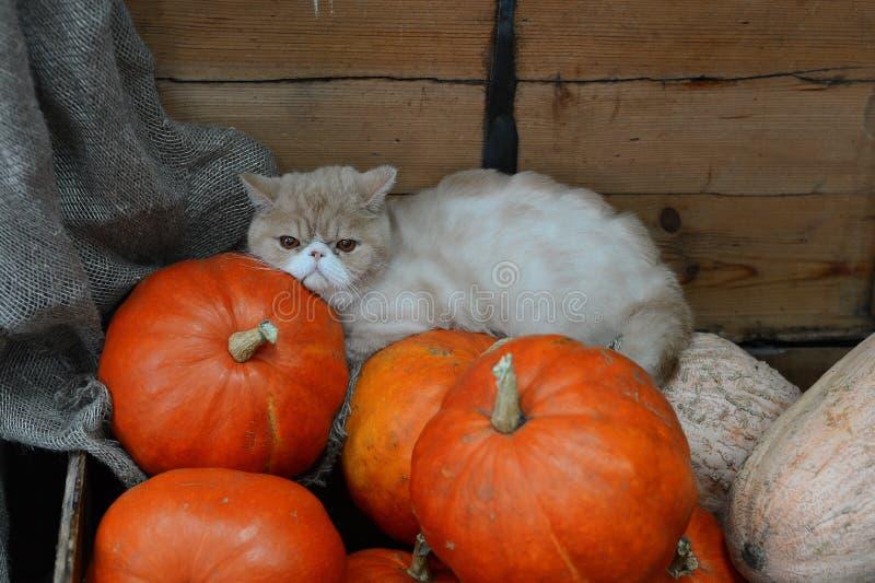O gato vermelho grande encontra-se nas abóboras persas, situadas no tronco, fundo da parede de madeira durante o dia, o Dia das B imagem de stock