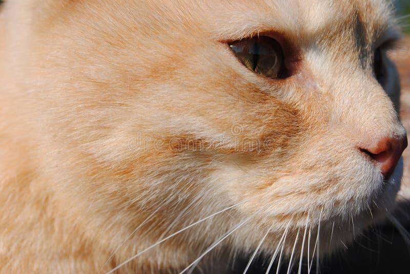 O gato vermelho olha na eternidade Fim da face do gato acima filosófico imagens de stock royalty free