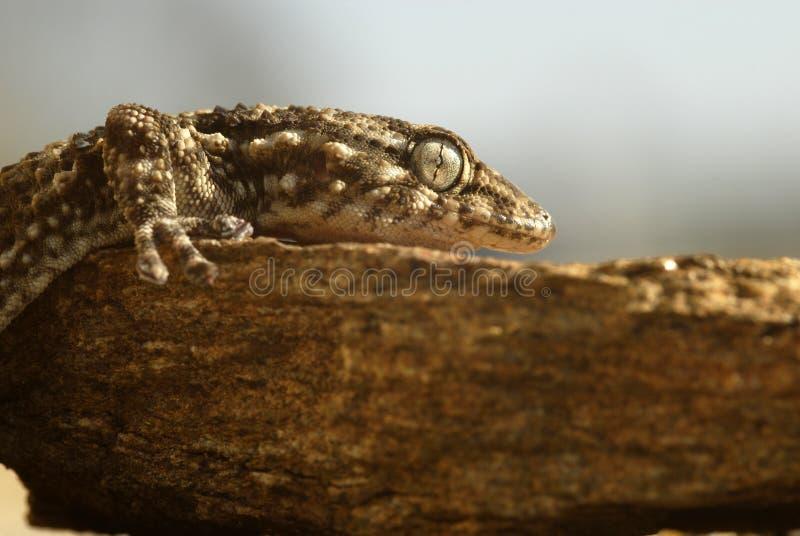 O gecko na rocha fotografia de stock royalty free