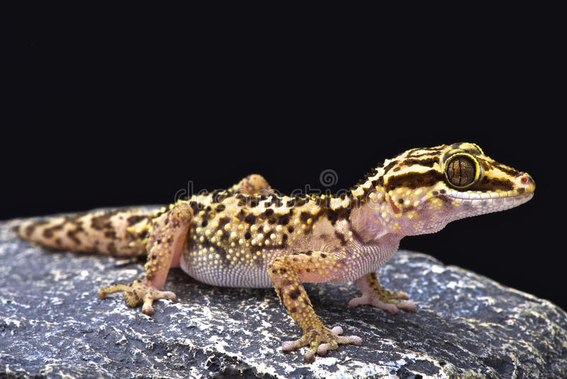 O geco de Lothara (lohatsara de Paroedura) fotografia de stock royalty free